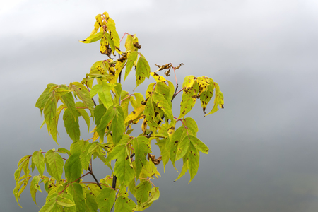 autumn withered leaves of the maple tree on a blurry foggy background Stock Photo
