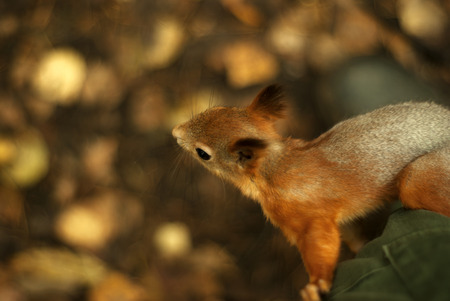 young eurasian red squirrel closeup on a blurred autumn background