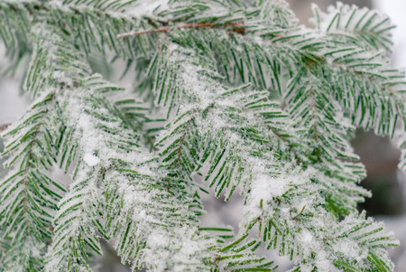 winter light background - fir branches covered with frost
