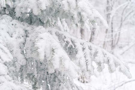 winter light background - fir branches covered with snow