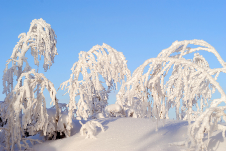 woody branches covered with fluffy snow crystals, sticking out of the snow on a clear frosty day against the blue sky Stock Photo