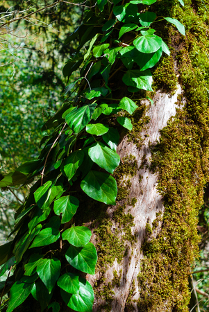 vertical background - colchis ivy on a dry mossy tree trunk Stok Fotoğraf