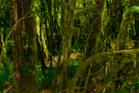 background - subtropical forest, yew-boxwood grove with mossy tree trunks Stok Fotoğraf