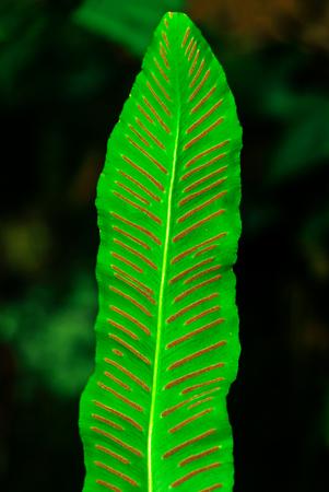 leaf of fern Asplenium scolopendrium close-up on a blurred background