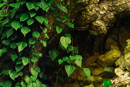 background - colchis ivy on a dry mossy tree roots