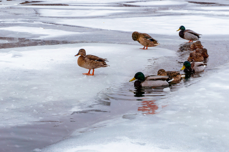 flock of wild mallard ducks swims between the ice in the freezing channel
