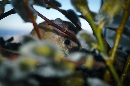 cute spiny mouse (akomys) hiding among the branches of a blossoming willow 스톡 콘텐츠