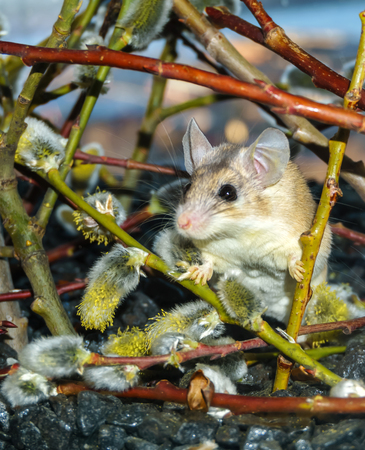 cute spiny mouse (akomys) among the branches of a blossoming willow