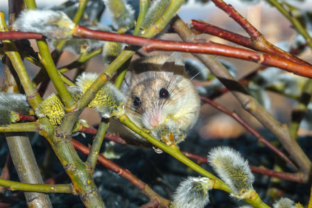 cute prickly mouse (akomys) feasts on pollen scrambling along blossoming willow branches 스톡 콘텐츠