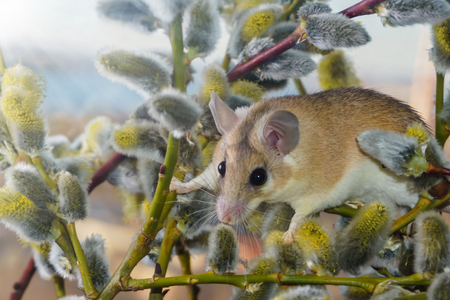 cute spiny mouse (akomys) climbs the branches of a blossoming willow 스톡 콘텐츠