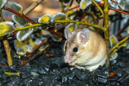 cute spiny mouse (akomys) eats something under the branches of a blossoming willow Imagens