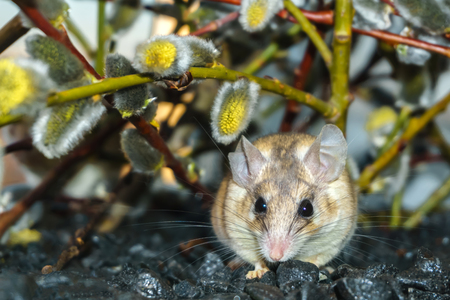 cute spiny mouse (akomys) under the branches of a blossoming willow