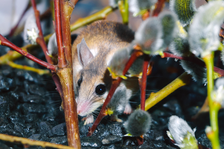 cute spiny mouse (akomys) lurking among the branches of a blossoming willow
