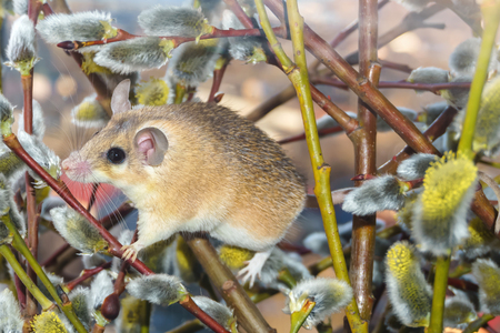 cute spiny mouse (akomys) climbs the branches of a blossoming willow Imagens