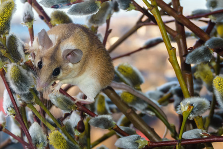 cute spiny mouse (akomys) scrambling the branches of a blossoming willow