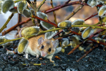 cute spiny mouse (akomys) sneaks under the branches of a blossoming willow