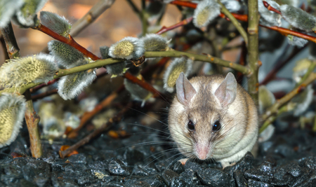 cute spiny mouse (akomys) sits under the branches of a blossoming willow