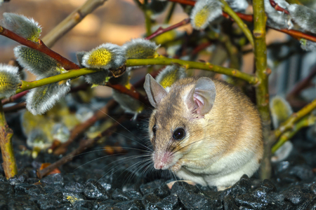 cute spiny mouse (akomys) sitting under the branches of a blossoming willow