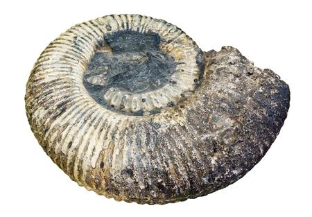 petrified shell of an extinct paleozoic ammonite mollusc isolated on white background