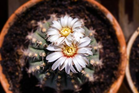 beautiful white flowers of blooming cactus Gymnocalycium schroederianum on a blurred background