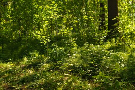 shady undergrowth with ferns in the forest