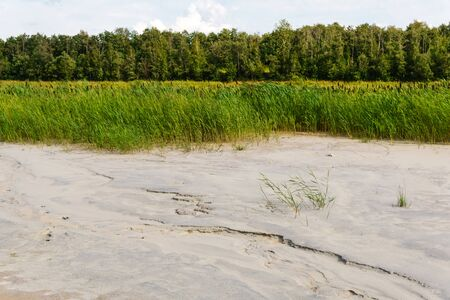 sandy bottom of a drained swamp with a cattail and forest in the background