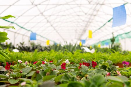 blurred interior of an industrial floriculture greenhouse with flowers in the foreground