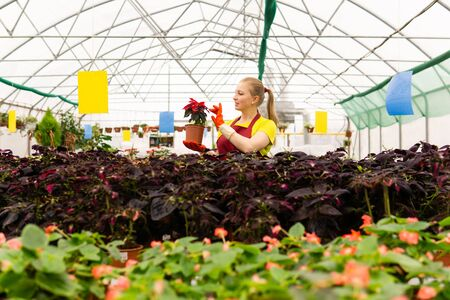 woman gardener holding a pot with a houseplant poinsettia in a greenhouse with pot flowers