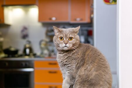 portrait of cute scottish straight cat close-up against a blurred interior