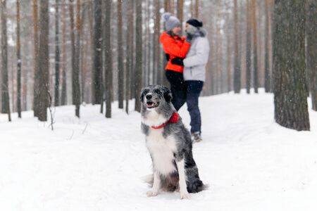 border collie dog sitting in the snow in the winter forest on the background of a couple of its owners in love