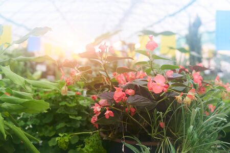 blurred interior of a greenhouse with begonia in the foreground with haze characterizing a warm and humid artificial climate