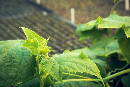 young growth of cucumber vines on the background of blurry boxes with seedlings