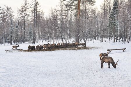 deer herd feeding in winter on a maral farm