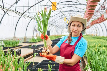 young attractive female worker picks a crop of tulips in a greenhouse Foto de archivo