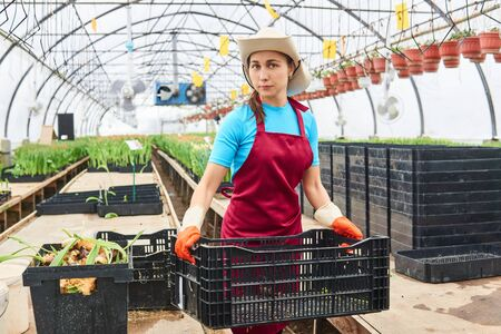 young woman working with plant crates in an industrial flower greenhouse Stock Photo