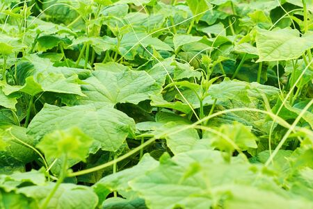 young leaves of cucumber vine with spirally twisted tendrils on a blurred background