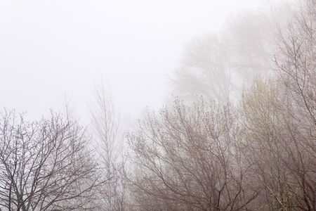 treetops with blooming buds in early spring are barely visible in the morning fog