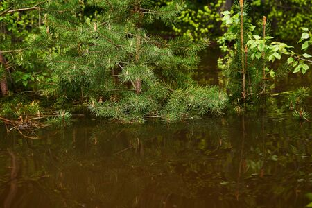 forest glade flooded during spring high water, young pine branches sticking out from under water in the foreground Archivio Fotografico