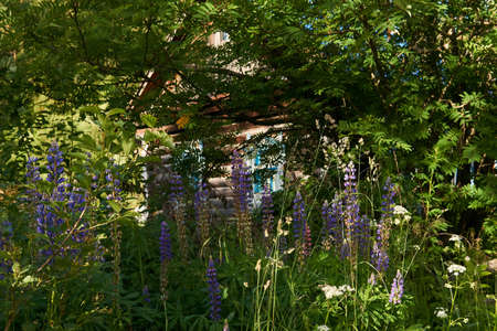 old rustic log cabin is barely visible in the bushes and thickets of blooming lupine