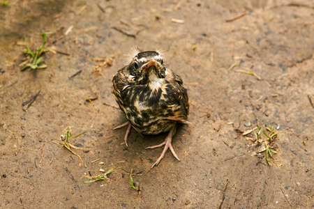 fledgling robin sits on the ground