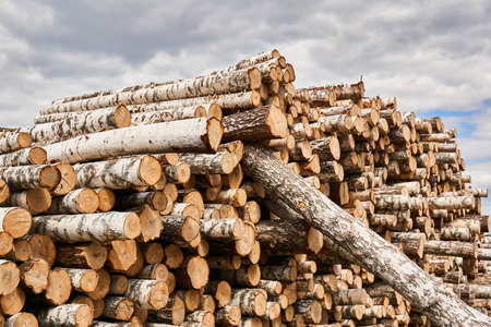 many felled birch trunks are stacked in a woodyard before processing or transportation Banco de Imagens