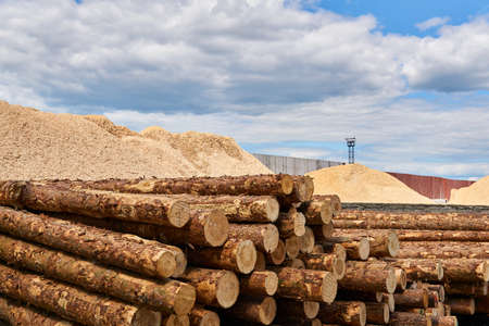 stacks of unbarked logs and pile of wood sawdust in a vast lumber yard