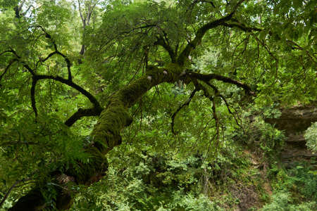 tree with a mossy trunk in a mountain rainforest Foto de archivo