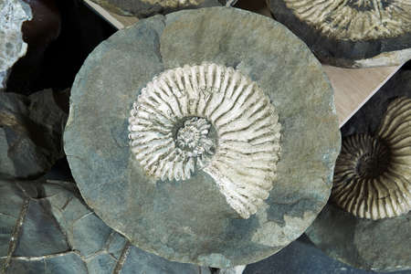 large fossil of an extinct mollusc ammonite within a cracked concretion amid other specimens Stock Photo