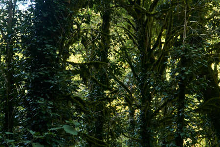 tree trunks in a humid rainforest, entwined with ivy and covered with moss