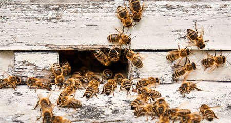honey bees swarming at the entrance of a painted wooden hive close-up