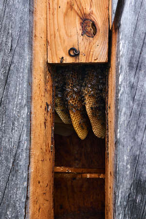 honeycombs of a natural form inside a traditional log hive without brood frames