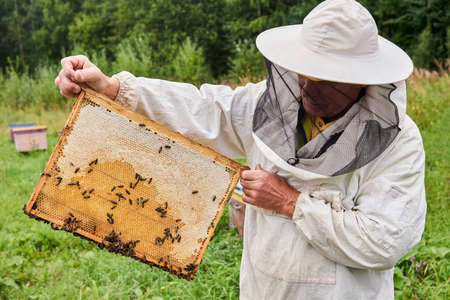 Perm, Russia - August 13, 2020: beekeeper examines the honeycomb frame removed from the hive, holding it in his hands
