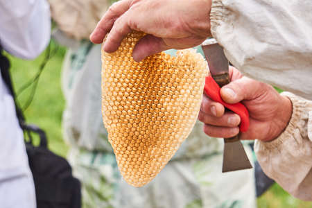 piece of honey-filled honeycombs of wild bees in the hands of a beekeeper