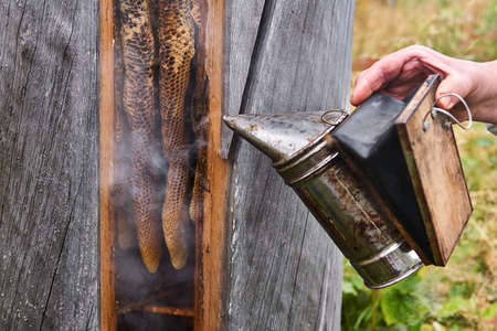 beekeeper checks the hive of a traditional shape - bee gum - with a smoker